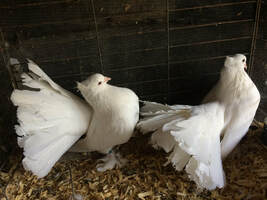 White Pair Indian Fantail Pigeons